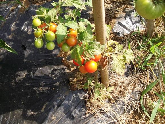 トマト祭りです。_b0137932_14173889.jpg