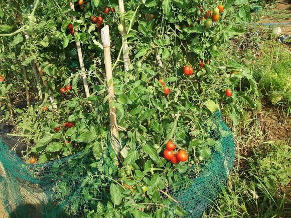 トマト祭りです。_b0137932_1417963.jpg
