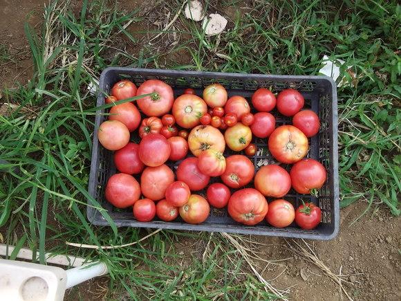 トマト祭りです。_b0137932_1418412.jpg