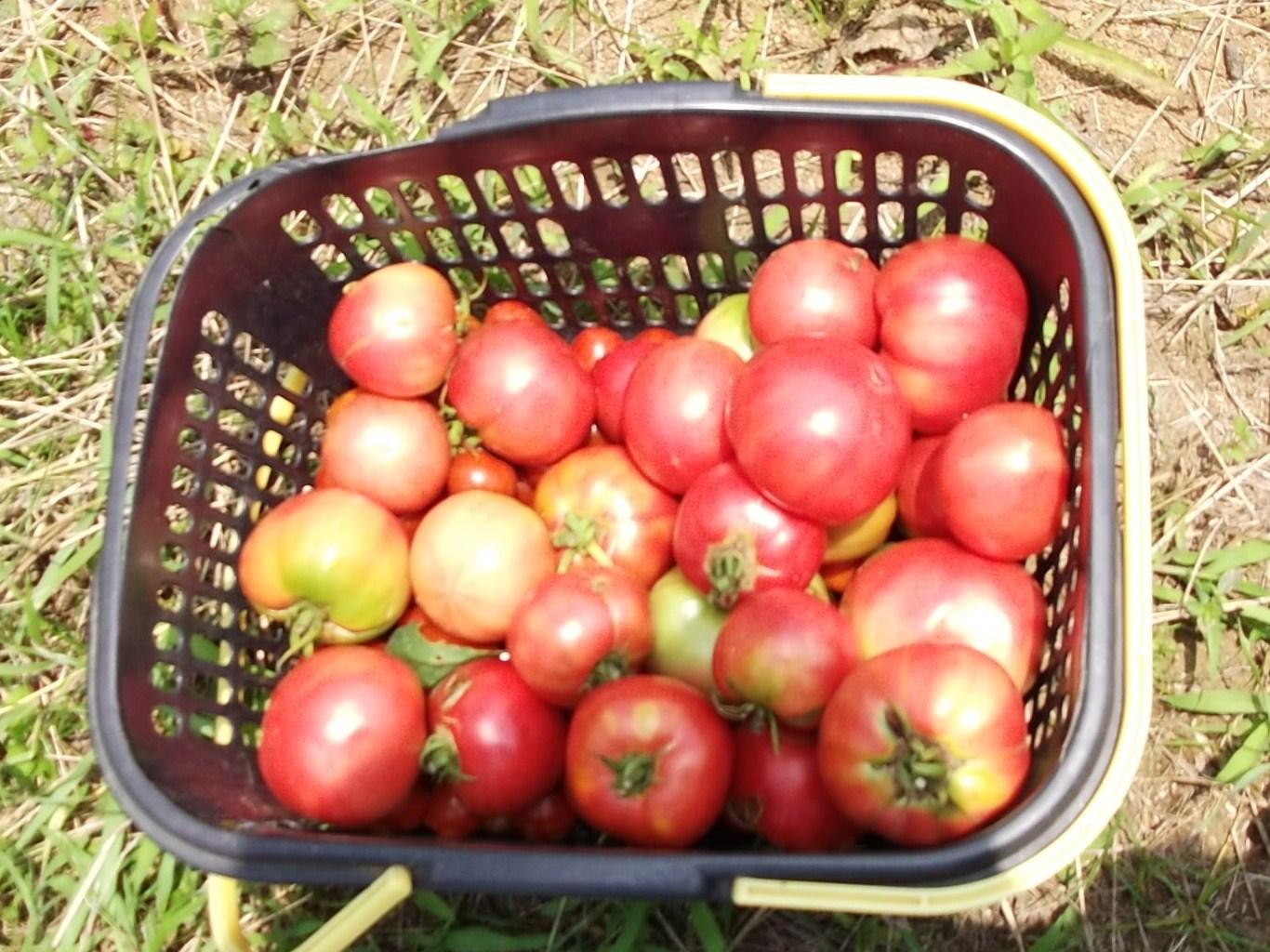 トマト祭りです。_b0137932_14184637.jpg