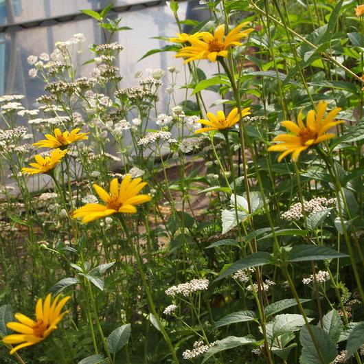 真夏のお庭は黄色い_a0292194_18215545.jpg
