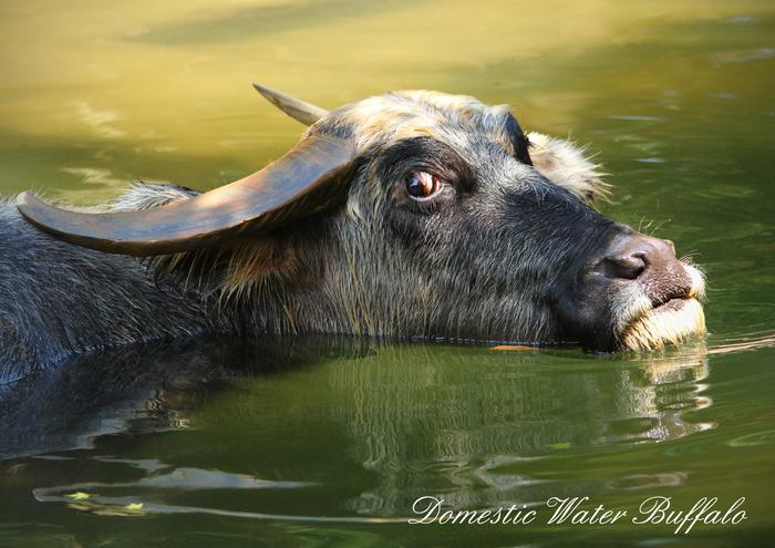 アジアスイギュウ:Domestic Water Buffalo_b0249597_11122745.jpg