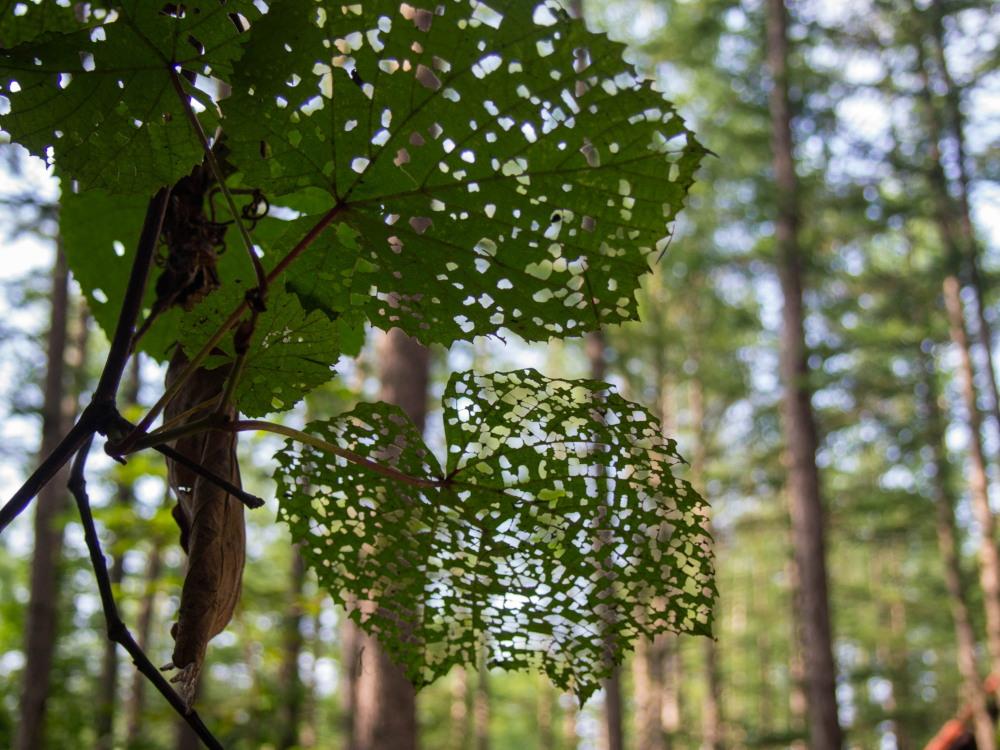 """がんばれ""""ヤマブドウ""""葉っぱは虫に喰われても・・_f0276498_19153299.jpg"""