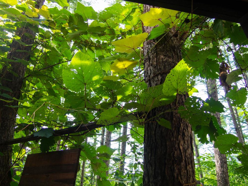 """がんばれ""""ヤマブドウ""""葉っぱは虫に喰われても・・_f0276498_19160068.jpg"""