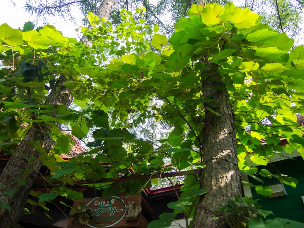 """がんばれ""""ヤマブドウ""""葉っぱは虫に喰われても・・_f0276498_19163472.jpg"""