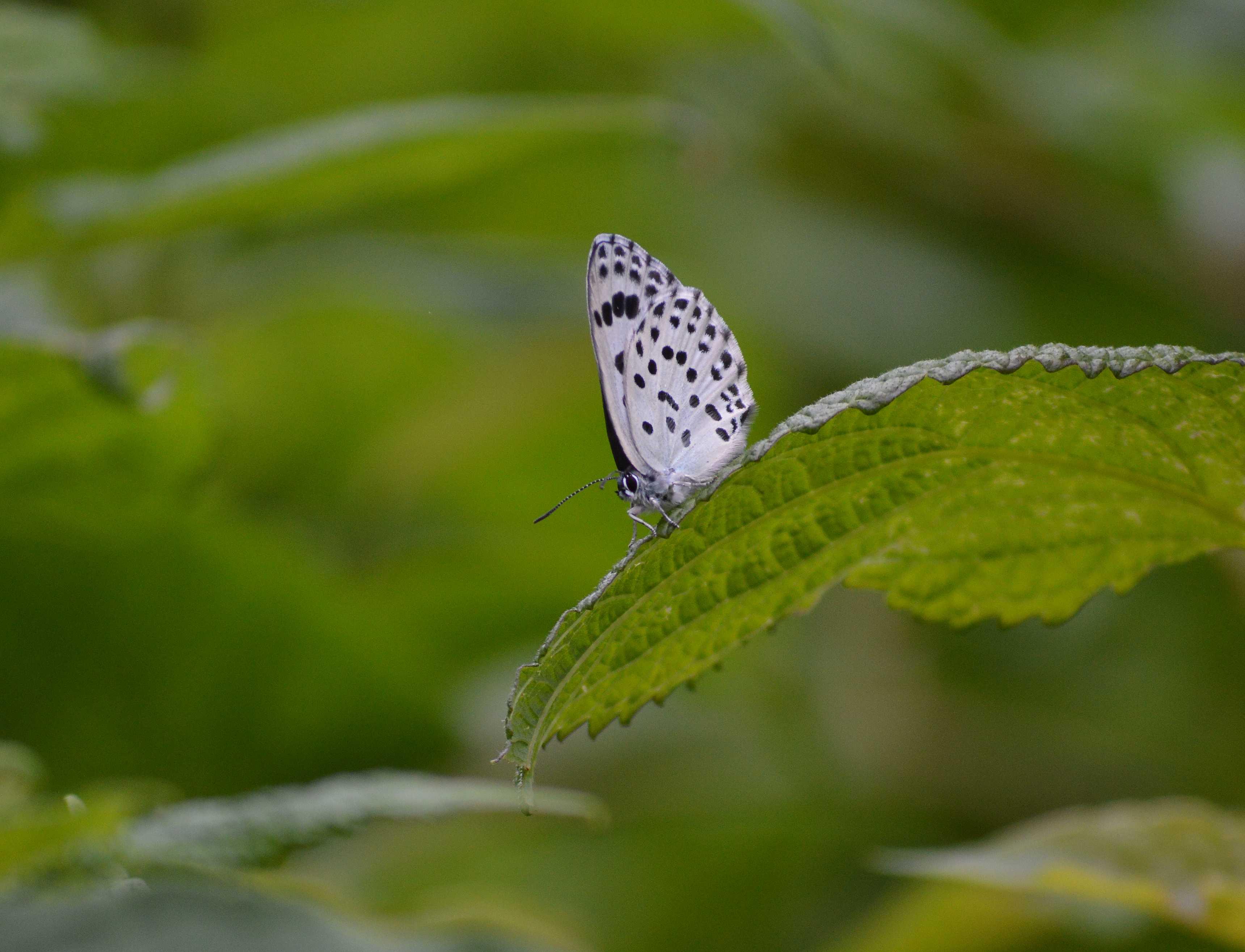 オオゴマシジミ やっぱりハードルの高い蝶でした_d0254540_1513196.jpg