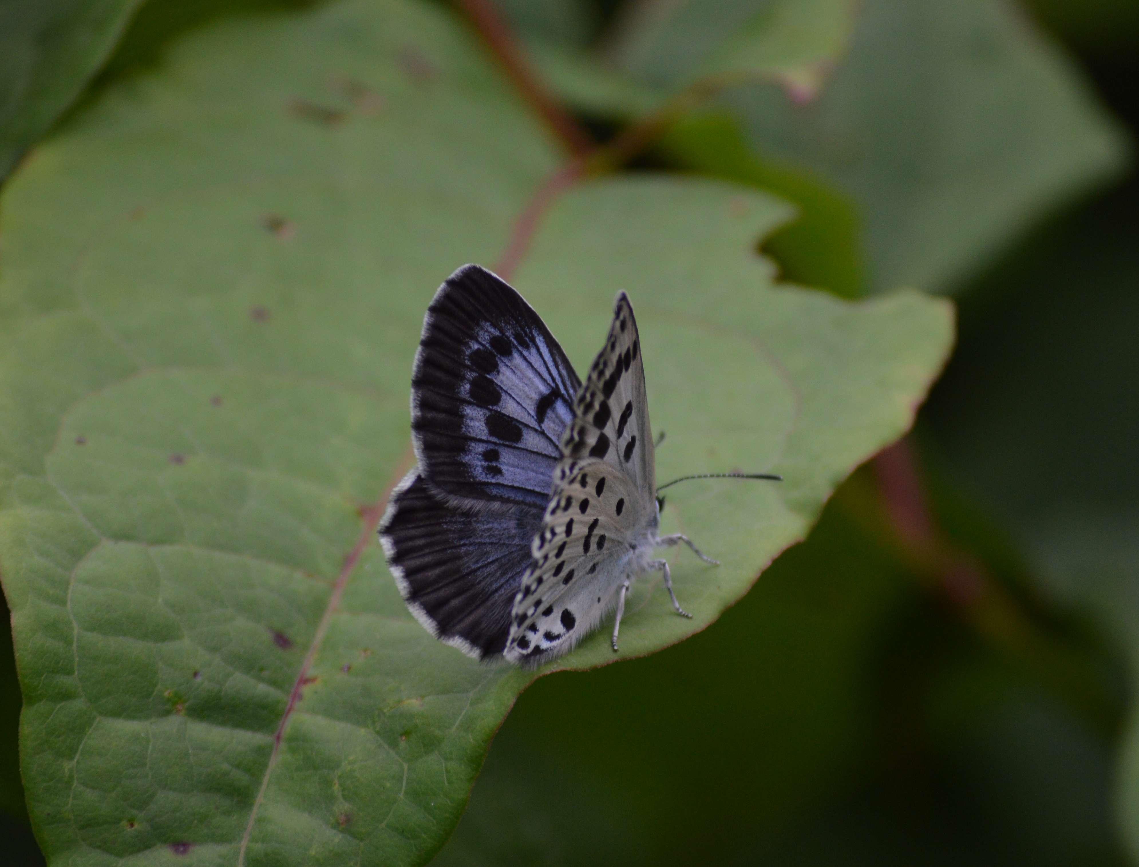 オオゴマシジミ やっぱりハードルの高い蝶でした_d0254540_15133333.jpg