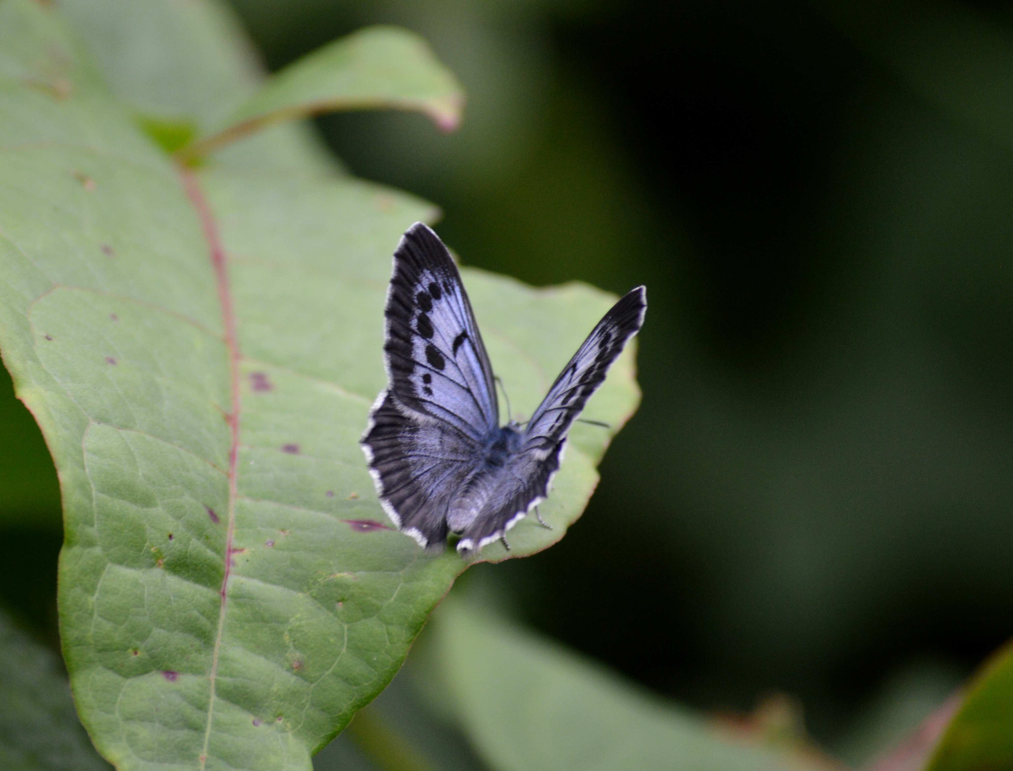 オオゴマシジミ やっぱりハードルの高い蝶でした_d0254540_15135539.jpg