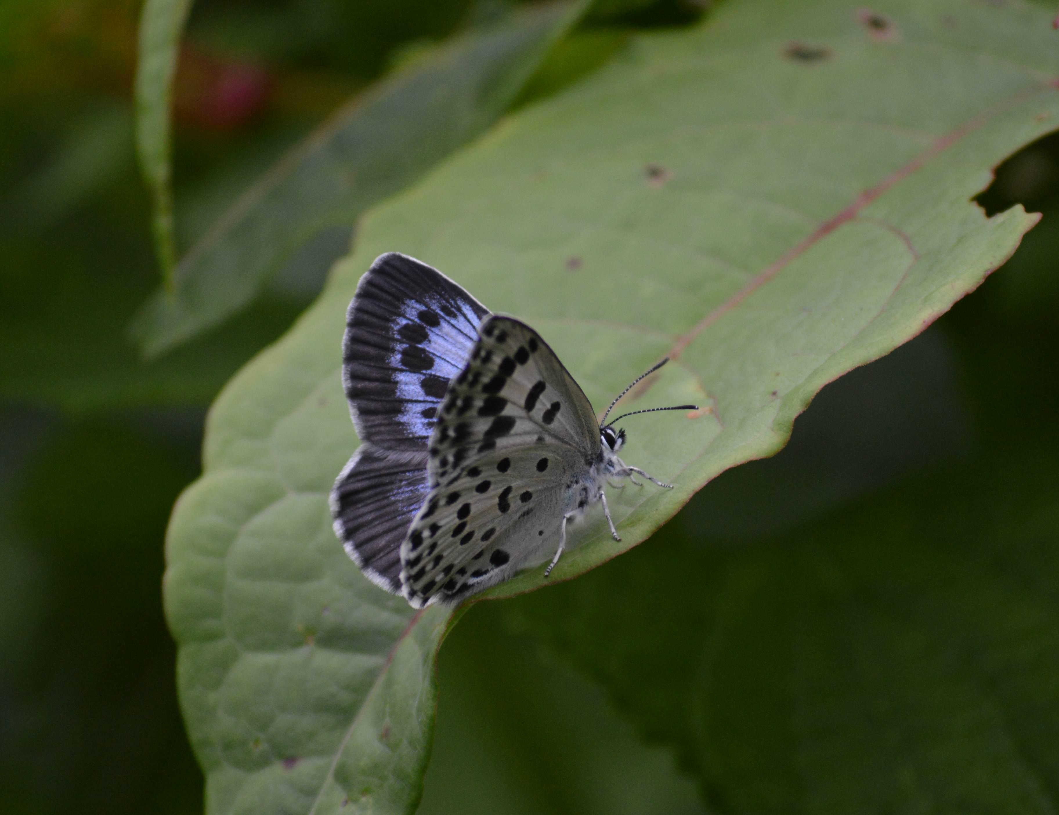 オオゴマシジミ やっぱりハードルの高い蝶でした_d0254540_15144276.jpg