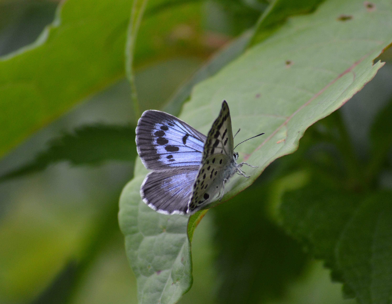 オオゴマシジミ やっぱりハードルの高い蝶でした_d0254540_15145790.jpg