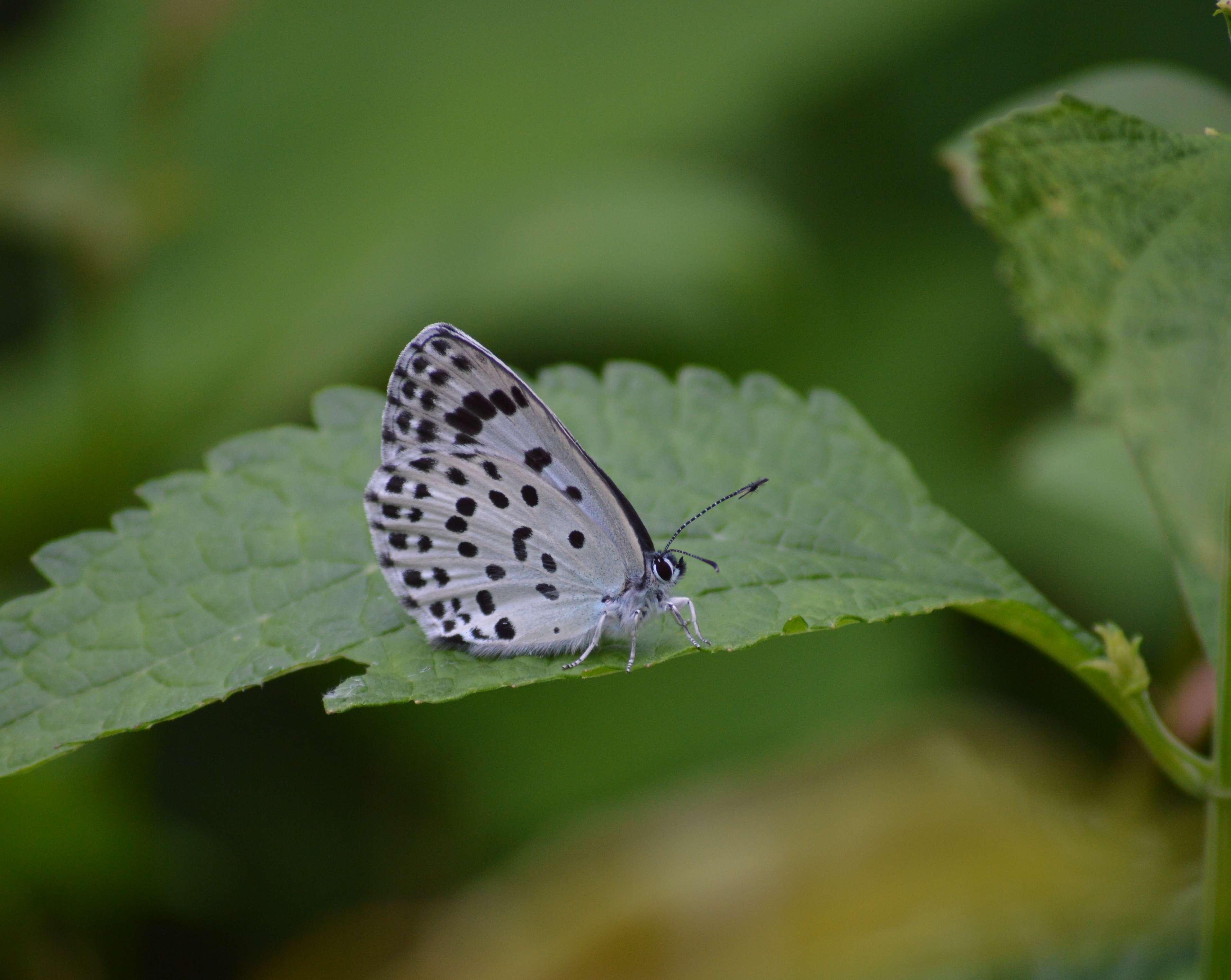 オオゴマシジミ やっぱりハードルの高い蝶でした_d0254540_15175246.jpg