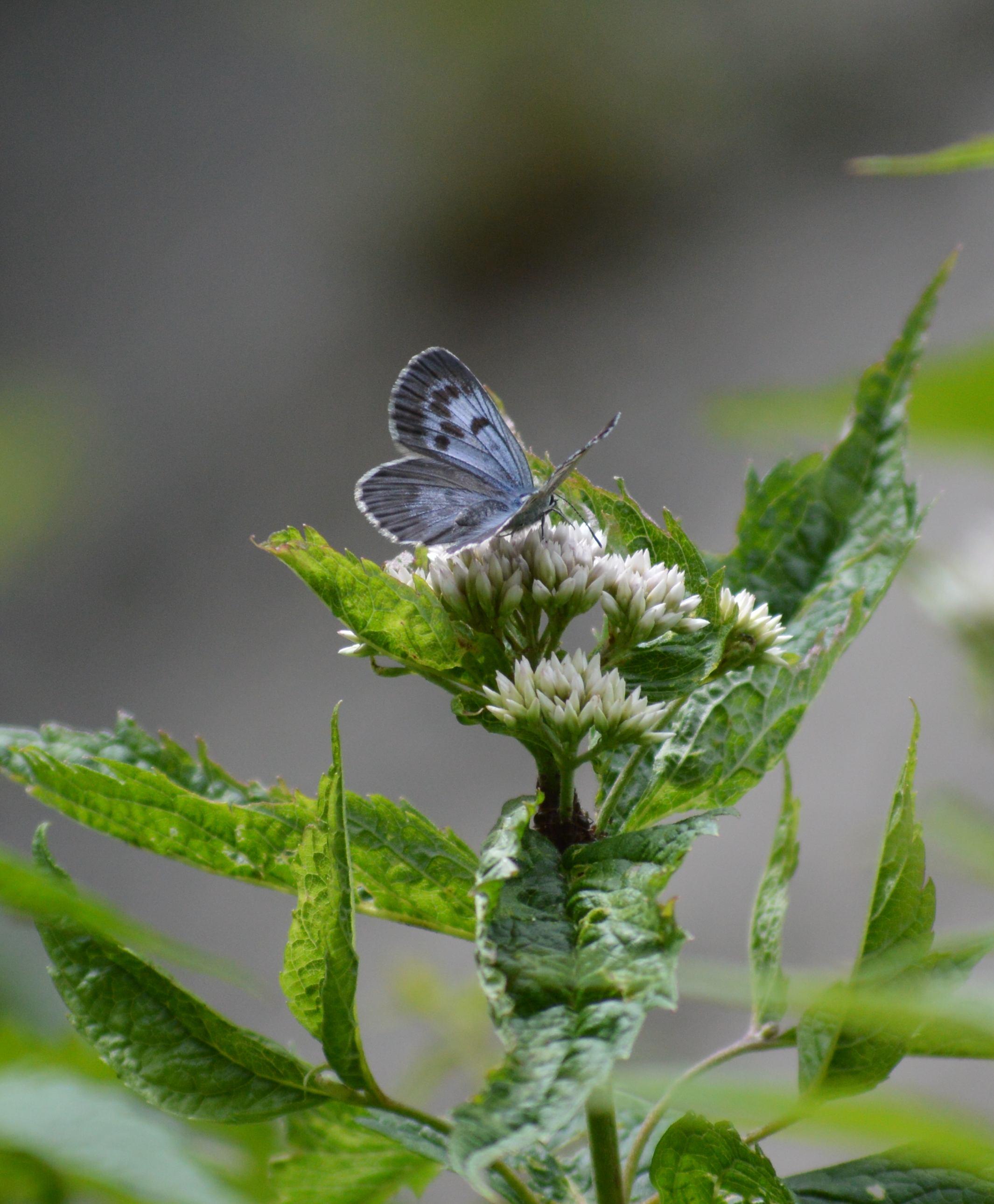 オオゴマシジミ やっぱりハードルの高い蝶でした_d0254540_1525563.jpg