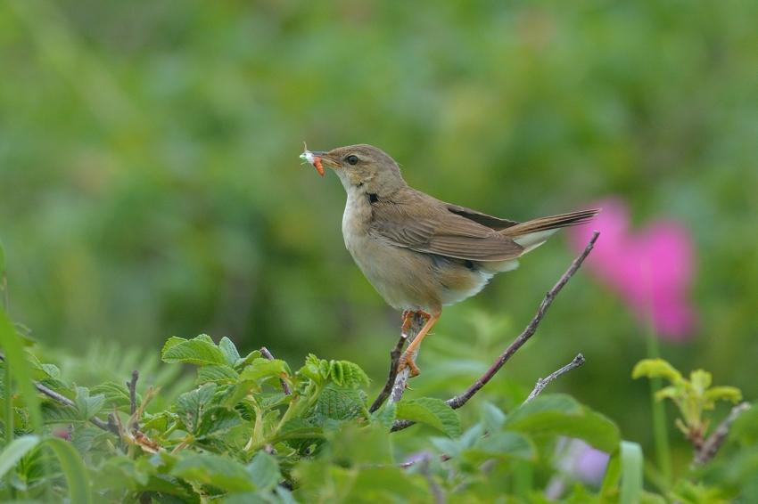 シマセンニュウ(Middendorff\'s grasshopper warbler)~2014.07.(E)_b0148352_23351628.jpg
