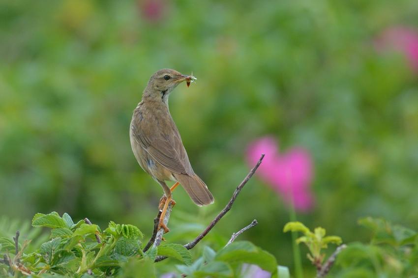 シマセンニュウ(Middendorff\'s grasshopper warbler)~2014.07.(E)_b0148352_2335269.jpg