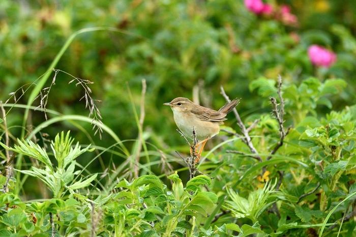 シマセンニュウ(Middendorff\'s grasshopper warbler)~2014.07.(E)_b0148352_2335314.jpg