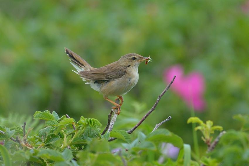 シマセンニュウ(Middendorff\'s grasshopper warbler)~2014.07.(E)_b0148352_2335388.jpg
