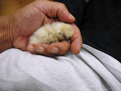 烏骨鶏のヒナ 母鳥に守られ、元気に成長中!!水を飲むのもエサを食べるのも覚えました_a0254656_13483394.jpg