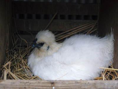 烏骨鶏のヒナ 母鳥に守られ、元気に成長中!!水を飲むのもエサを食べるのも覚えました_a0254656_14132612.jpg