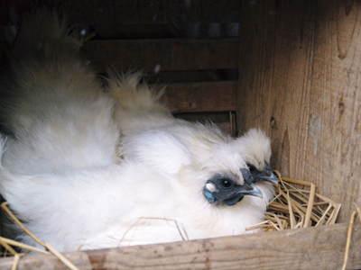 烏骨鶏のヒナ 母鳥に守られ、元気に成長中!!水を飲むのもエサを食べるのも覚えました_a0254656_14194383.jpg