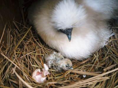 烏骨鶏のヒナ 母鳥に守られ、元気に成長中!!水を飲むのもエサを食べるのも覚えました_a0254656_14321466.jpg