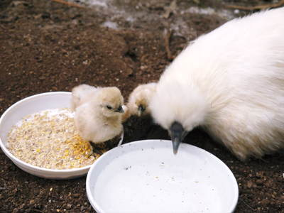 烏骨鶏のヒナ 母鳥に守られ、元気に成長中!!水を飲むのもエサを食べるのも覚えました_a0254656_14361146.jpg