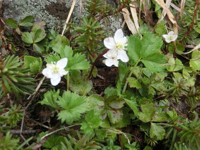 白山 花の写真_d0151699_1726723.jpg