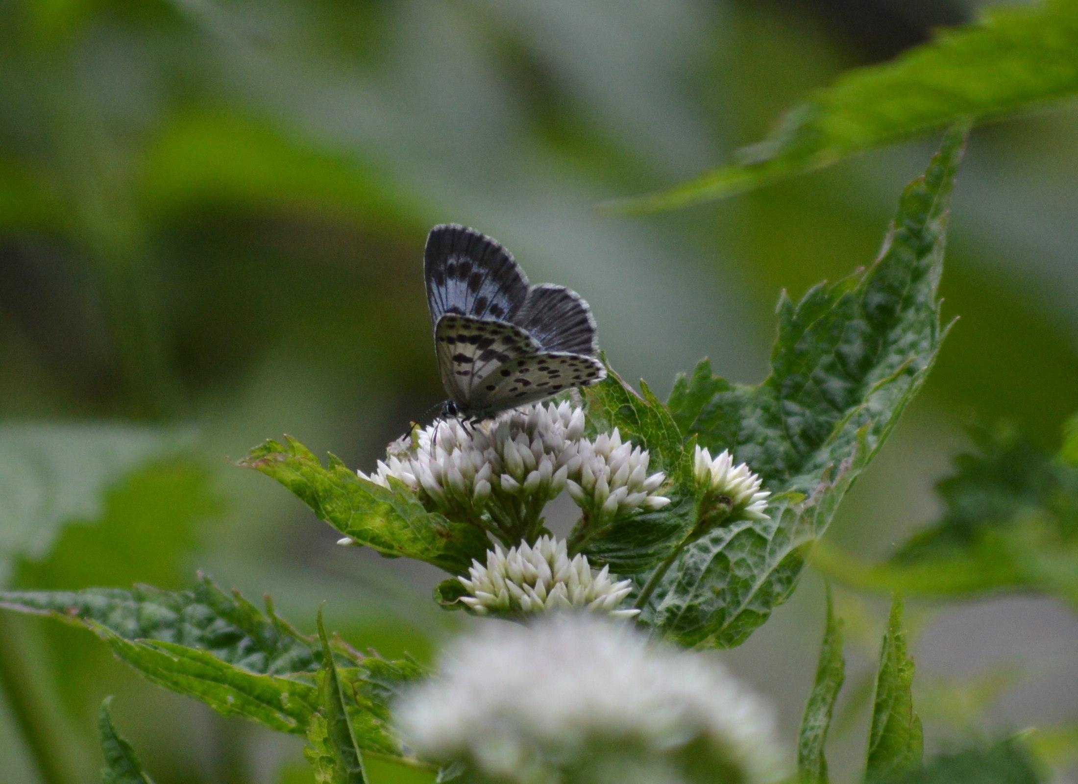 オオゴマシジミ やっぱりハードルの高い蝶でした_d0254540_4392920.jpg