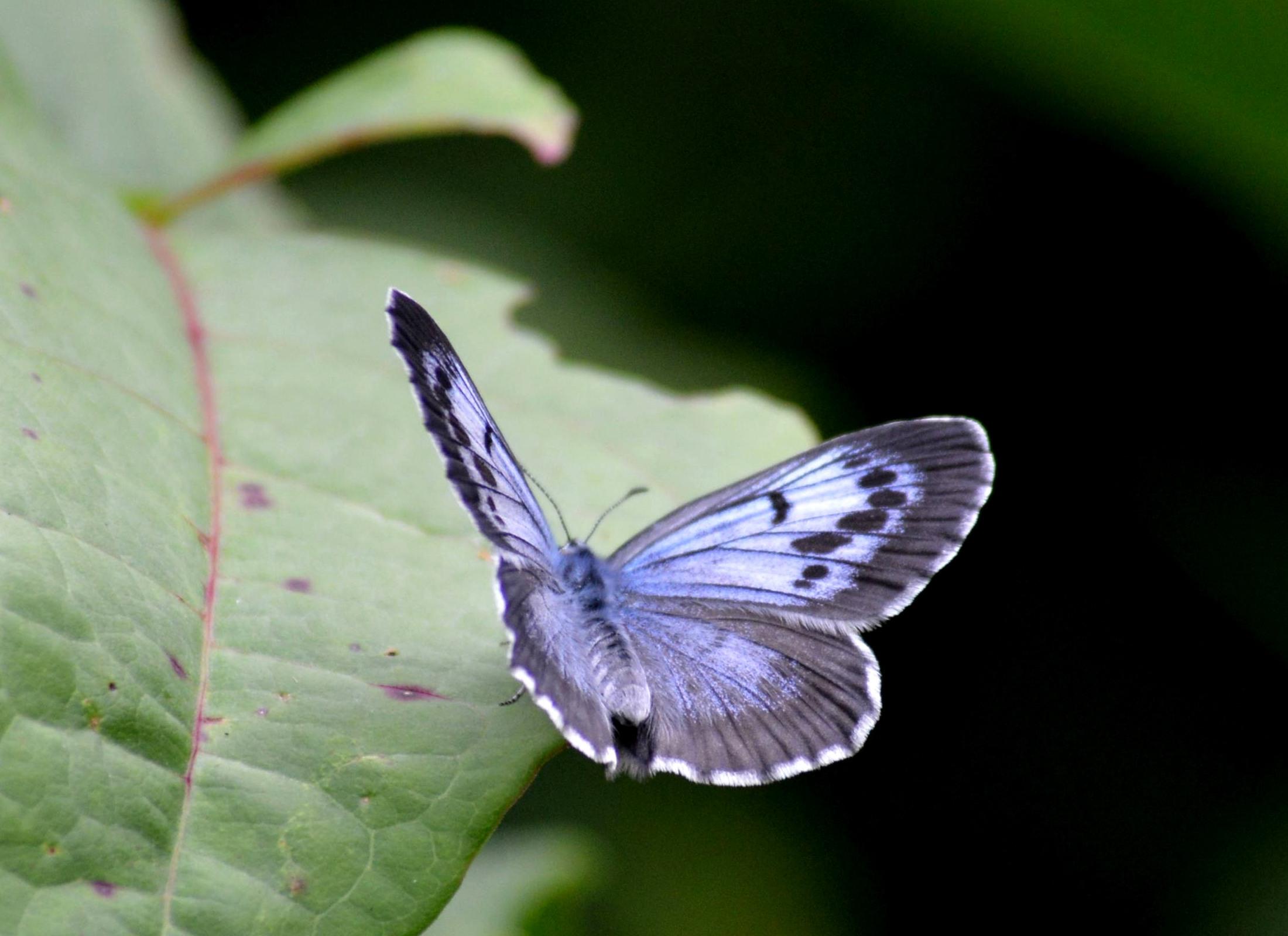 オオゴマシジミ やっぱりハードルの高い蝶でした_d0254540_5421029.jpg