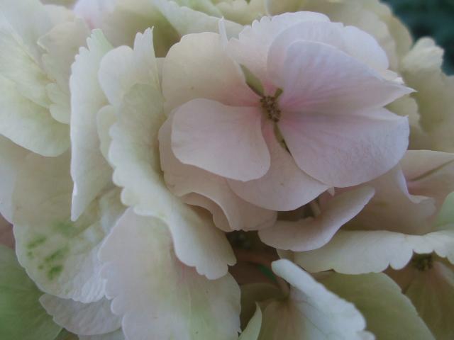 オークリーフ(紫陽花ベレナの秋色)_f0049672_16273967.jpg