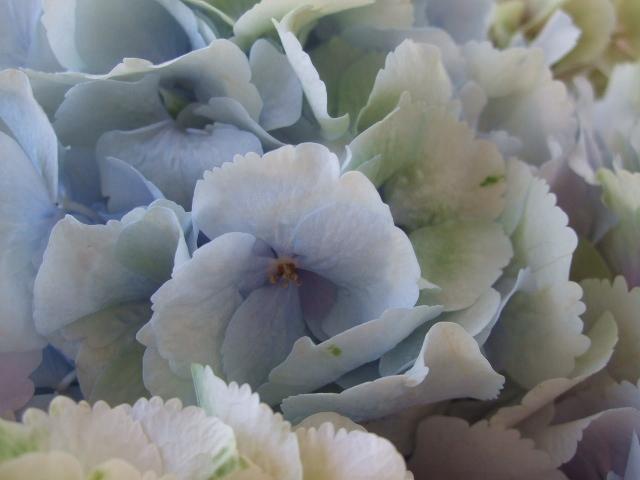 オークリーフ(紫陽花ベレナの秋色)_f0049672_16275141.jpg