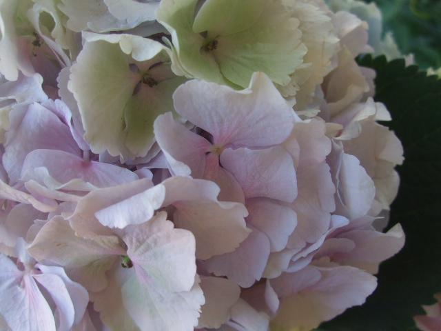オークリーフ(紫陽花ベレナの秋色)_f0049672_1627517.jpg