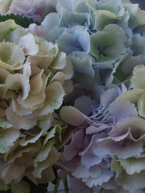 オークリーフ(紫陽花ベレナの秋色)_f0049672_1628476.jpg