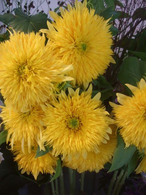オークリーフ(紫陽花ベレナの秋色)_f0049672_16335999.jpg