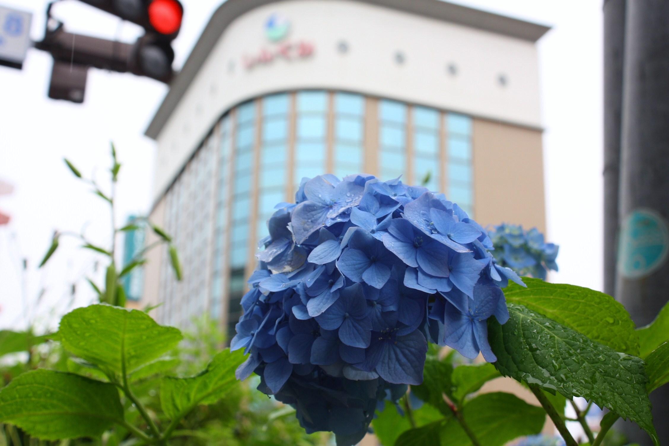あじさい・ひまわり・コスモス花咲く釧路 8月7日_f0113639_163146.jpg