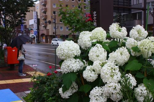 あじさい・ひまわり・コスモス花咲く釧路 8月7日_f0113639_1633563.jpg