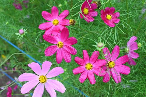 あじさい・ひまわり・コスモス花咲く釧路 8月7日_f0113639_1654626.jpg