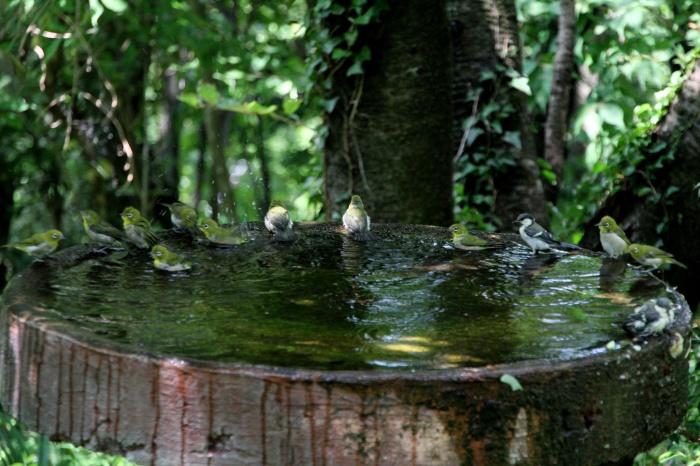 2014.8.7 今日の水場は芋洗・権現山・キビタキ、センダイムシクイ、ヤマガラ、シジュウカラ、メジロ_c0269342_22114102.jpg