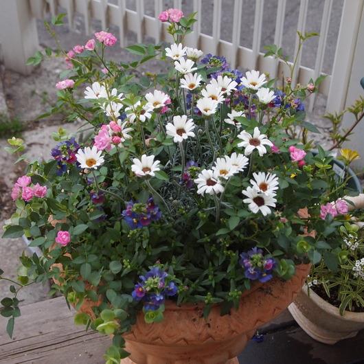 春の寄せ植えのその後_a0292194_21101346.jpg