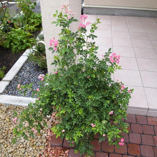 春の寄せ植えのその後_a0292194_2125313.jpg