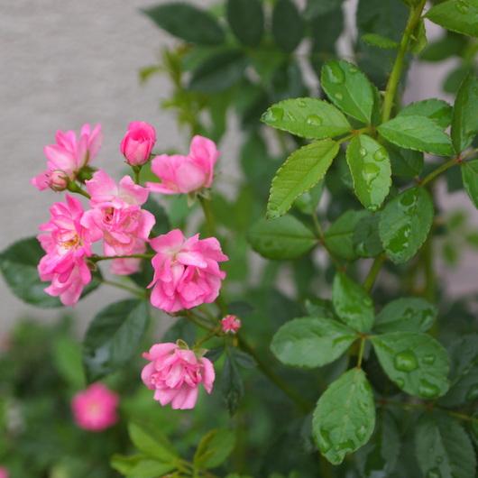 春の寄せ植えのその後_a0292194_21284737.jpg
