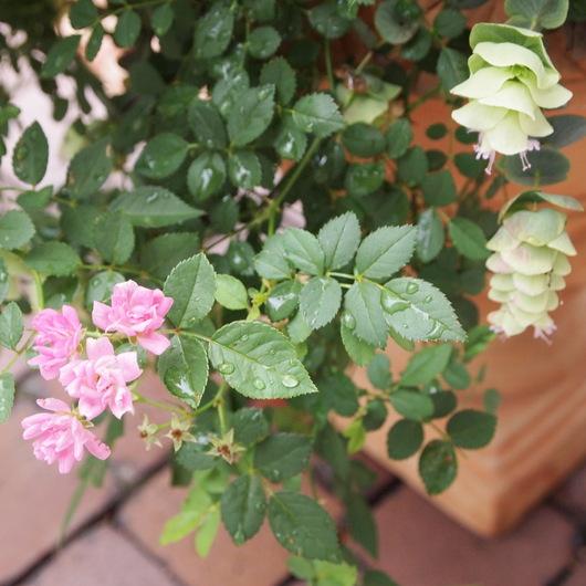 春の寄せ植えのその後_a0292194_21292543.jpg