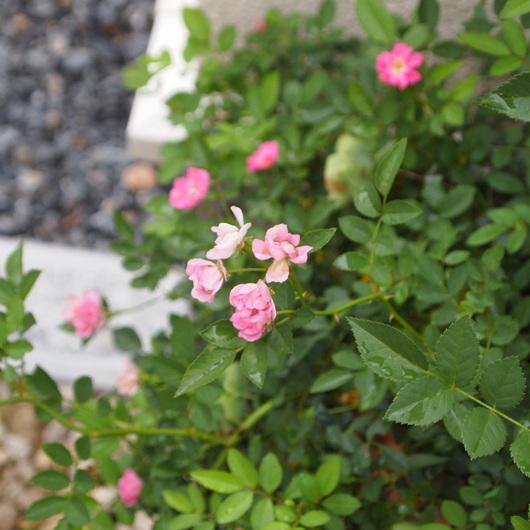 春の寄せ植えのその後_a0292194_2130772.jpg