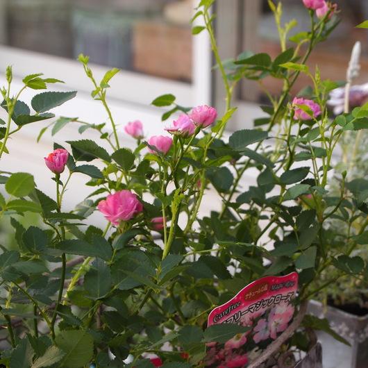 春の寄せ植えのその後_a0292194_21391545.jpg