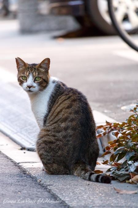 猫のいる風景 近所の茶トラ白ちゃん_b0133053_1255185.jpg