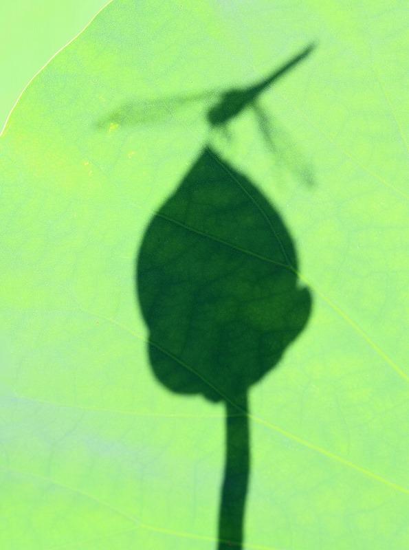 蓮の蕾にシオカラトンボ_d0074828_22484687.jpg