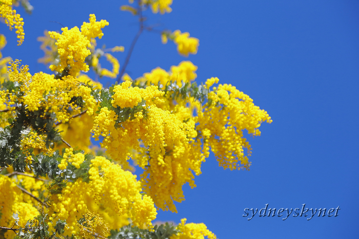 GOLDEN WATTLE_f0084337_20303146.jpg