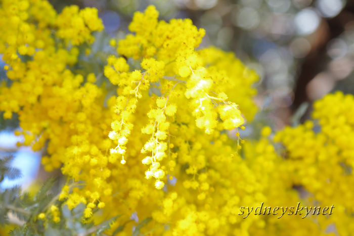 GOLDEN WATTLE_f0084337_20310845.jpg