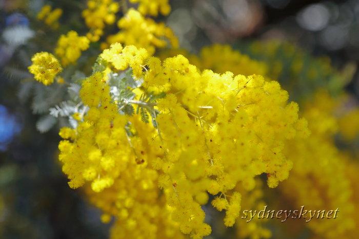 GOLDEN WATTLE_f0084337_20315452.jpg