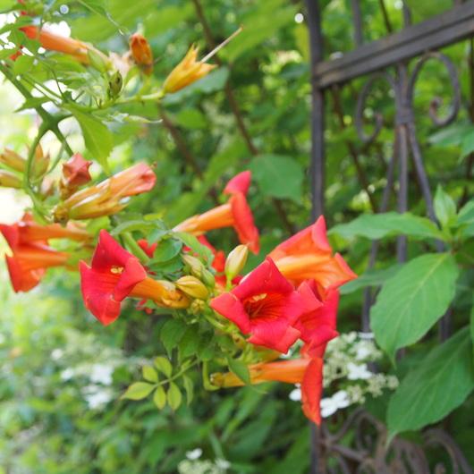 ノウゼンカズラが咲いてます_a0292194_12355142.jpg