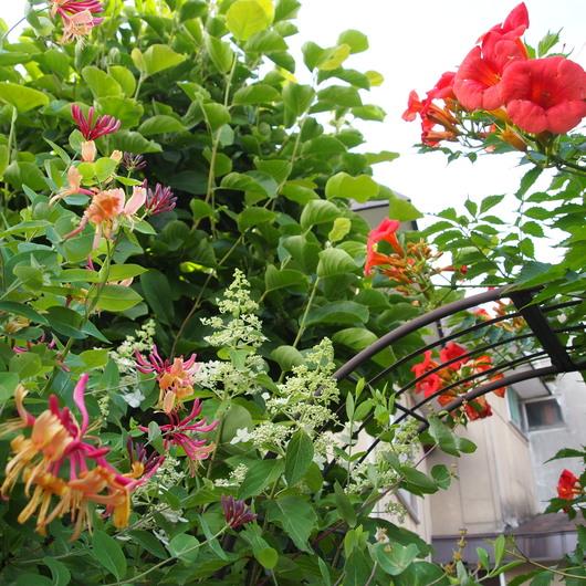 ノウゼンカズラが咲いてます_a0292194_12362135.jpg
